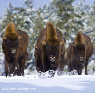 bisons europe lozere